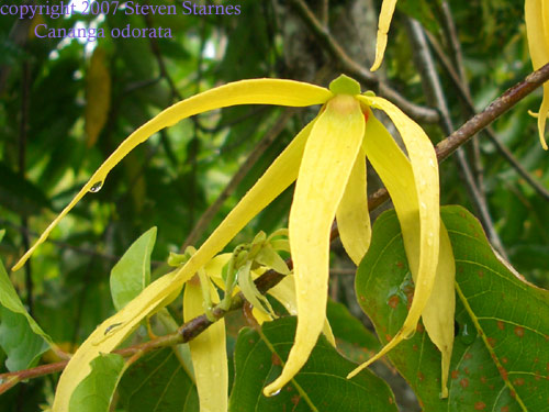 Tropical Tree Famous For Its Highly Fragrant Flowers Fragrance Is Strongest During Hot Afternoons And Just After Sunset Leaves Are Oblong To Ovate