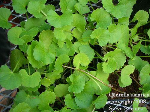 hawaiian herbs medicinal plants