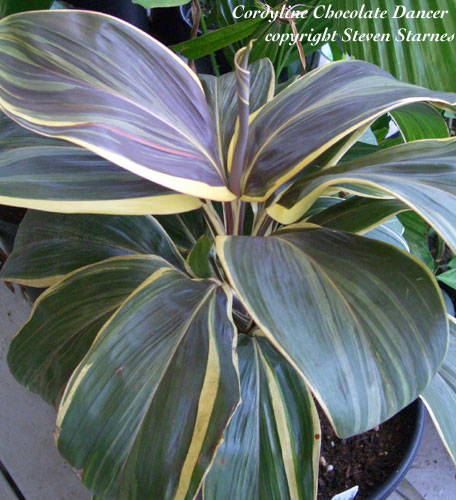 how to cut cordyline plants