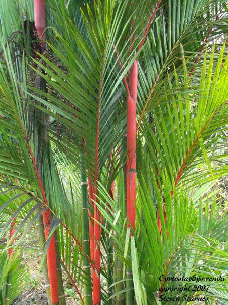 Hawaiian Tropical Plant Nursery- Palms