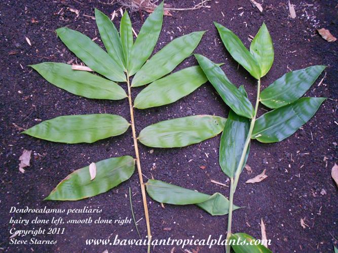 Dendrocalamus peculiaris
