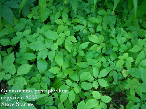 Gynostemma pentaphyllum, jiao gu lan