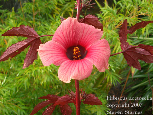 How To Grow Hibiscus Plant In Hindi