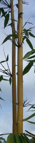 Schizostachyum brachycladum, Balinese Sacred Bamboo