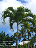 Hawaiian Tropical Plant Nursery Palms