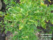 Aegle marmelos, bael fruit plant