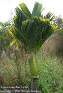 Areca catechu dwarf, dwarf betel nut palm