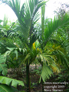 Areca macrocalyx, highland betel nut palm