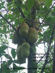 Artocarpus integer, chempadak
