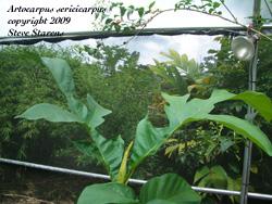 Artocarpus sericicarpus, pedalai