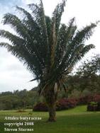 Attalea butyraceae