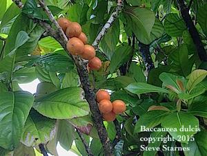 Baccaurea_dulcis, Kampuduang