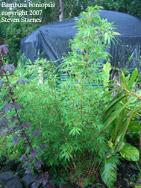 Bambusa boniopsis