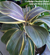 Cordyline Chocolate Dancer