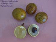 Dimocarpus longana, longan