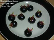 Eugenia brasiliensis, Brazilian cherry