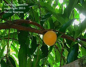 Garcinia humilis, achahairu