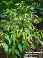 Garcinia mangostana, mangosteen