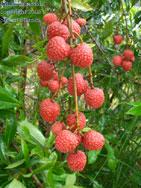 Litchi chinensis, lychee