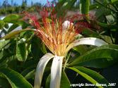 Pachira aquatica, Guyana chestnut
