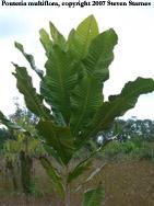 Pouteria multiflora