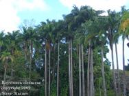 Roystonea oleraceae, Venzuelan Royal Palm