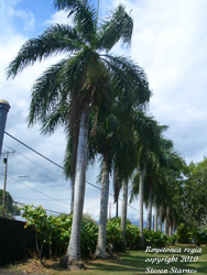 Roystonea regia, Cuban Royal Palm