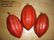Theobroma cacao,chocolate plant